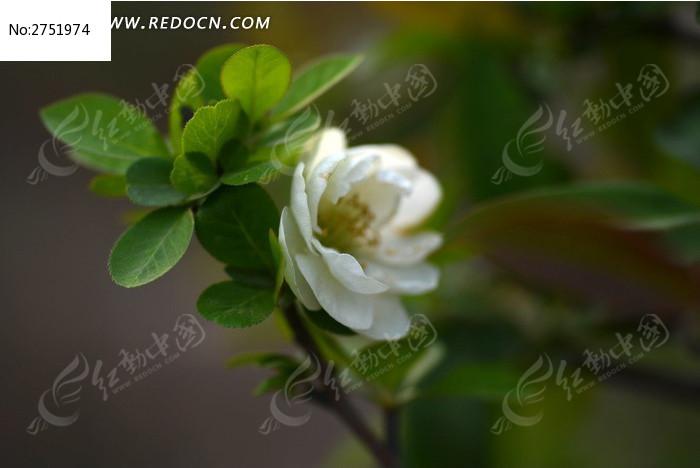 美丽的白桃花