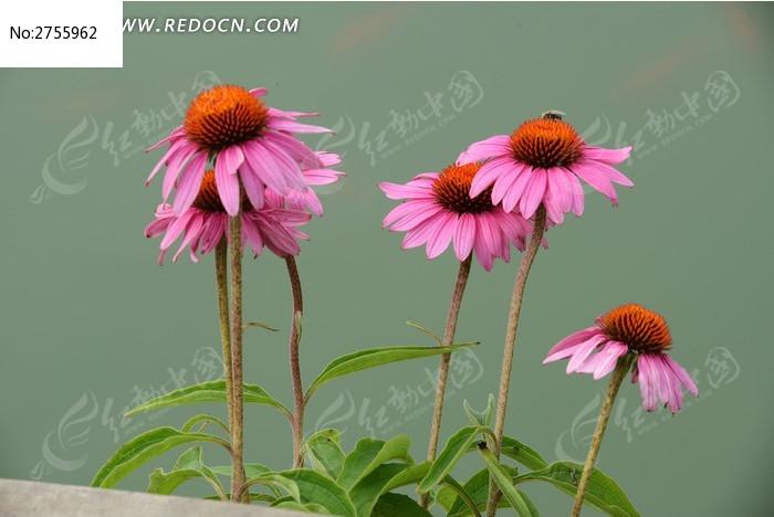 美丽的松果菊图片_动物植物图片