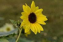 色彩鲜艳的黄色向日葵