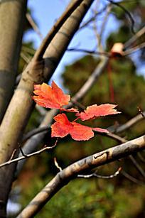 树枝上的红枫叶子