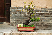 一盆野樱桃盆栽植物