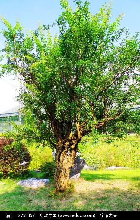 原创摄影图 动物植物 树木枝叶 龙泉树  请您分享: 素材描述:红动网