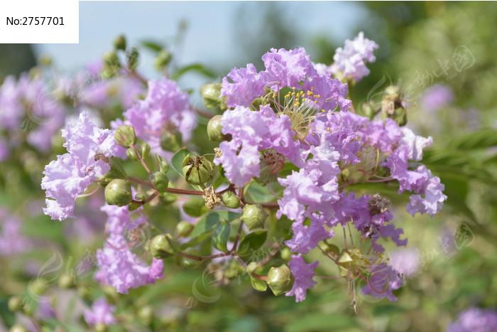 美丽的紫荆花图片_动物植物图片