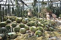 温室花棚里的仙人球