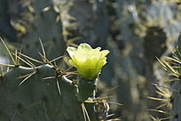 仙人掌上盛开的淡绿色花朵