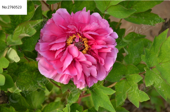 原创摄影图 动物植物 花卉花草 粉色的牡丹