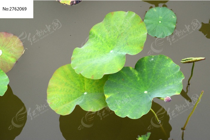 荷叶特写图片_动物植物图片