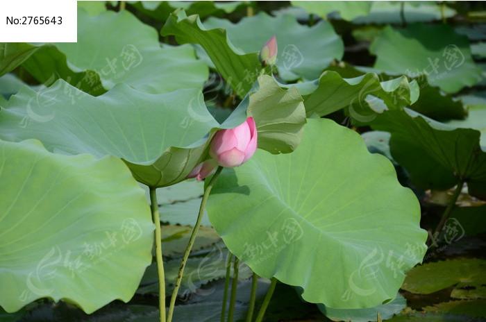 荷叶下的荷花图片_动物植物图片