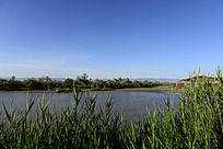 湖边生长的满绿草
