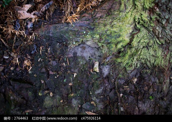 莲花山上长满苔藓的树根图片