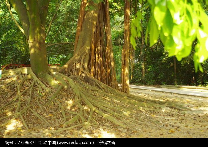 树下的树根