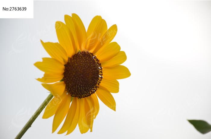 葵花 太阳花