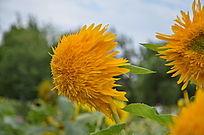 一株拉风的芭奇多向日葵