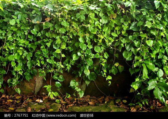 原创摄影图 动物植物 花卉花草 爬山虎叶子
