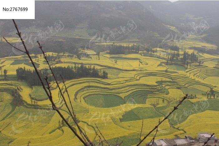 圆形梯田中的油菜花图片