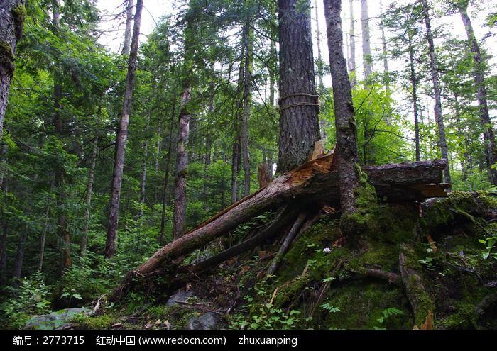 粗壮的树根图片,高清大图_森林树林素材