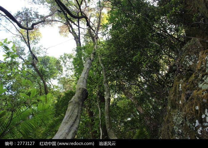 鼎湖山上粗大的树木图片_图片_红动手机版