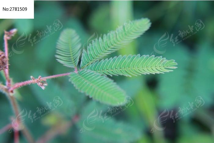 原创摄影图 动物植物 花卉花草 含羞草的叶子  请您分享: 红动网提供