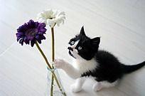 凝视一朵花的小猫