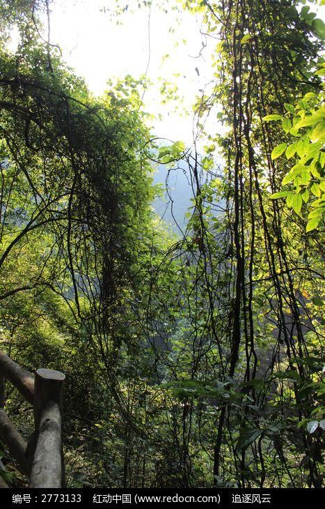 藤蔓植物图片,高清大图