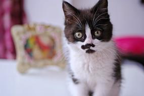 一只小花猫