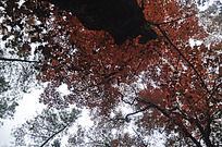 火红的枫香古树