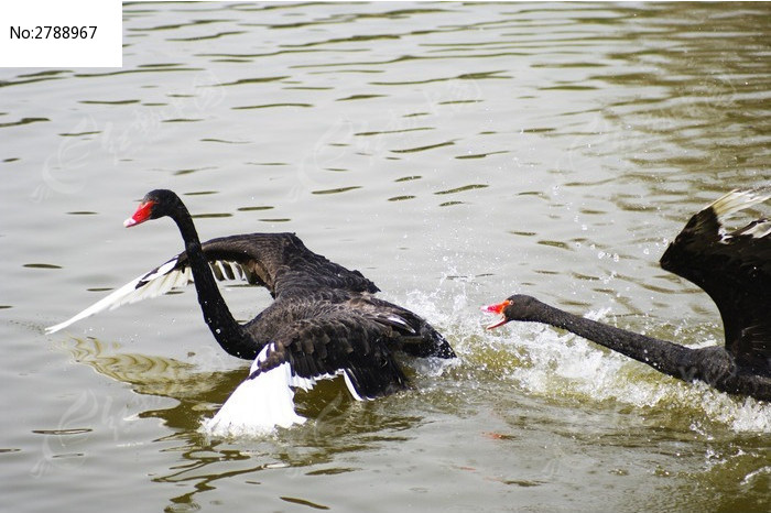 原创摄影图 动物植物 空中动物 互相追逐的黑天鹅  请您分享: 红动网