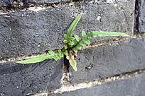 墙缝中生长的小草