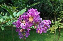 盛开的紫徽花