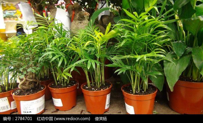 真实的竹子形状的盆栽图片