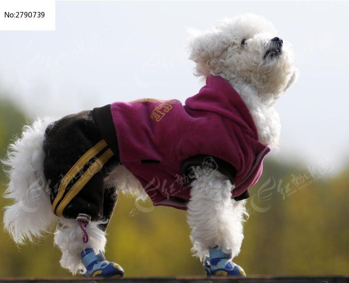 可爱的穿衣服的比熊狗