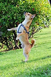 直立的中华田园犬