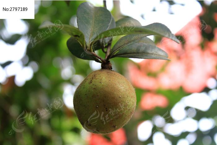 茶树结的果实高清图片下载 红动网
