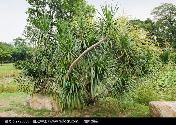 海南龙血树