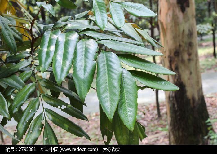 红光银桦图片,高清大图_树木枝叶素材
