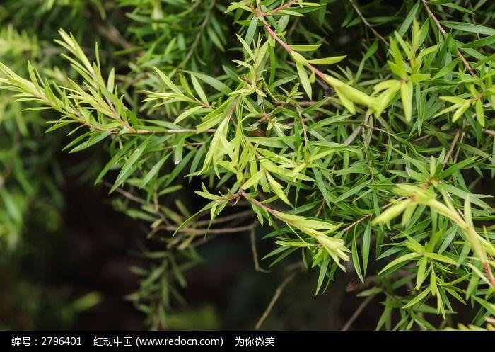 黄金香柳的叶子图片,高清大图_树木枝叶素材