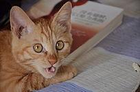 喵喵叫的猫
