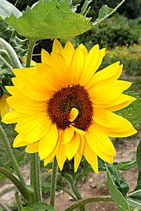 娇艳的黄色向日葵花朵