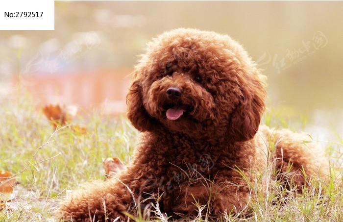 金黄色的泰迪犬图片,高清大图
