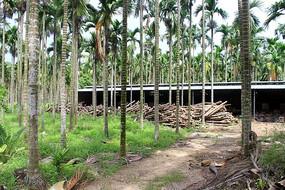 槟榔树林中的木材加工坊