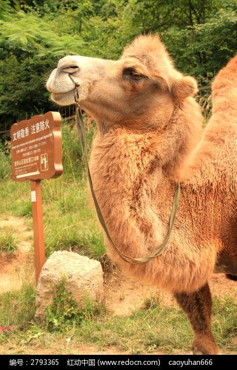 骆驼头部特写图片,高清大图_陆地动物素材