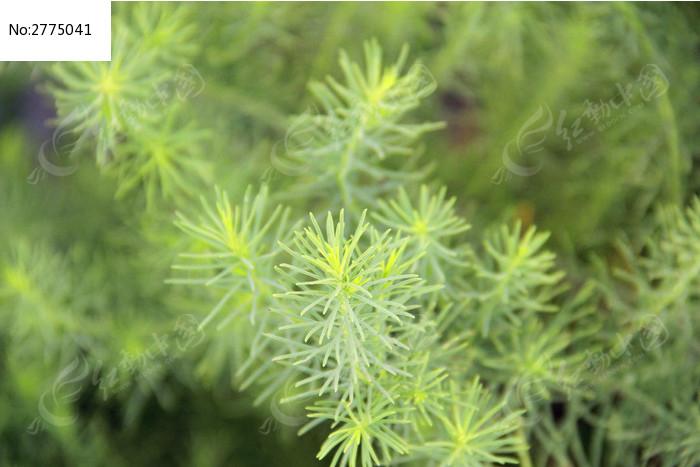 绿色针叶植物图片