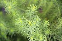绿色针叶植物