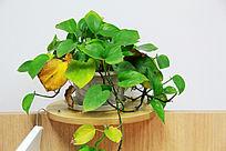 盆栽植物绿萝