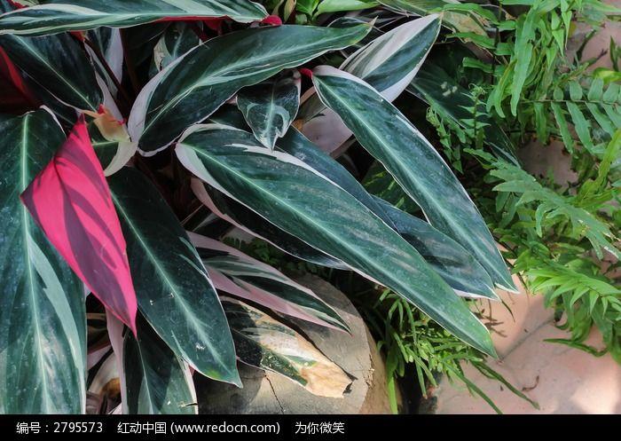 七彩竹芋图片,高清大图_树木枝叶素材