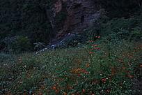 山涧泉水边的红豆植物