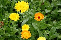 盛开的黄色菊花花朵