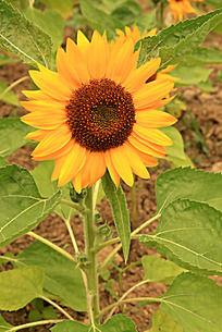 盛开的黄色向日葵花朵