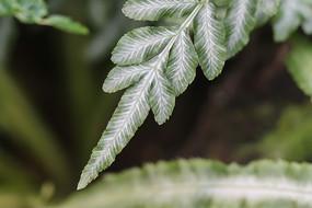 维多利亚剑叶凤尾蕨