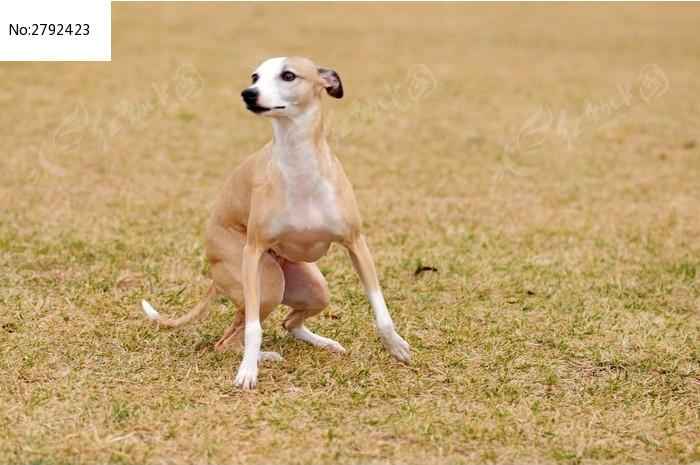 细瘦的惠比特犬